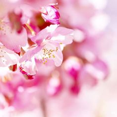 【smileoflily】さんのInstagramをピンしています。 《こんにちは😊 ・ ・ 400post ・ 最近のギャラリー、ピンク、白、たまに黄色と赤 偏り過ぎ⁈😂 ・ あまり気にしない私ですが、これからもよろしくお願いします😊💝 ・ ・ Thank  you  allways  for  everything 😊💖 ・ ・ 2017.2.15 * * * #神奈川 #松田山ハーブガーデン  #河津桜 #cherryblossoms#flower  #ザ花部 #はなまっぷ#wp_flower  #wp_まっぷ花まつり #whim_life  #tv_flowers #flowerstalking  #team_jp_ #Airy_pics  #myheartinshots #backyard_dreams #splendid_flowers #Flowers2sky  #7flowers_1day #kings_flora  #rainbow_petals #9Vaga9  #_lovely_weekend #loves_garden…