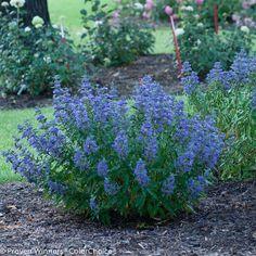 Perennial Garden Plans, Garden Shrubs, Garden Plants, Shade Garden, Perennial Gardens, Backyard Shade, Perennial Plant, Blue Garden, Garden Soil
