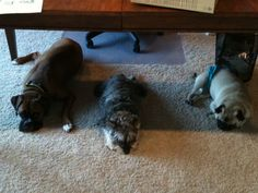 Working at PoochieBells under the desk #threedogday #poochie-pets