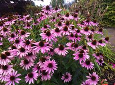 Purple Cone Flowers! Love the unique and vibrant color!  #flowers #coneflowers http://www.realfx.com/