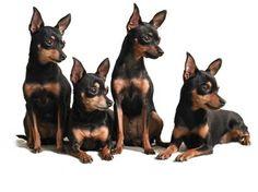 Ti presento il...Pražský krysařík (Prague ratter) - Ti presento il ... Mini Pinscher, Miniature Pinscher, Doberman Pinscher, Miniature Doberman, Prager Rattler, Pincher Dog, Funny Animals, Cute Animals, Rat Terriers