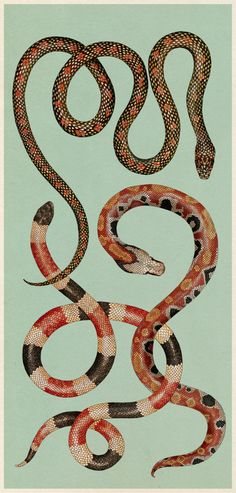 katie-scott:  Snakes. From Animalium. Which has just been...