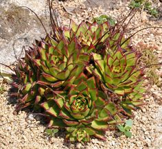 Succulent plants are easy to love. The Echeveria succulent plant is just such a specimen, with its care practically foolproof. Learn more about these plants and how to grow them in this article.
