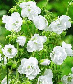 Hardy Geranium pratense 'Laura' - Double Flowering Hardy Geraniums - The Vernon Nursery Flowers Perennials, Flowers, Flower Seeds, Geranium Pratense, White Plants, Hardy Geranium, Plants, Geraniums, Geranium Plant