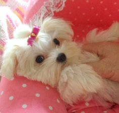 """""""i get up when I want!"""" #dogs #pets #Maltese Facebook.com/sodoggonefunny"""