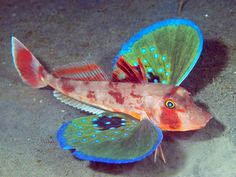 """(when I first saw this I thought it was a Japanese toy...not a living fish!!! kd) The Red Gurnard (Chelidonichthys spinosus)is one of 100 different species of Sea Robins, or Gurnards. These fantastic fish are normally found on the sea floor at depths of around 660 ft. They have a special set of 'wings,' which are actually just beautiful pectoral fins, that allow them to """"fly"""" through the water. They also possess six spiny feet that allow them to walk across the ocean floor in search of food."""