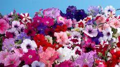Hermosas flores de verano para jardines y patios