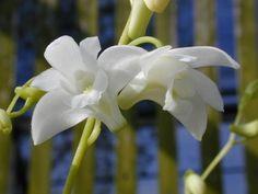 Andy's Orchids - Species Specialist - Dendrobium - kingianum v.album