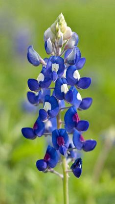 Texas bluebonnets (Lupinus texensis) are prolific in the early spring and are known for attracting an array of native bees as well as honey bees. This species is one of the five state flowers of Texas, the other four being also in the genus Lupinus. (We've all heard strange things about Texans, so we'll just … Read more