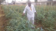 """Tomatoes and Onions Plantation ; The Agricultural MMM   By Emmanuel Owuala Have you ever wondered how much the northerners makes in every 3months courtesy of Tomatoes and Onions cultivation?  I won't bother quoting figures for you because you can """"slap an army man"""" and walk away free if you do know how much in just 70days for Tomatoes and 90days for Onions you could make from that land you are allowing to lie in waste for years.  The lady you see there is a Facebook friend who has been in my…"""