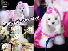 GROOMING: Pinky Maltese Korean Style Face ~ Asian Style Groom - Piano C...