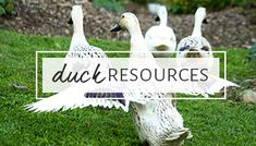 Ducks vs chickens: find out which type of fowl comes out ahead in a side-by-side comparison for backyard (or farmyard) egg production. Ducks Vs Chickens, Plants For Chickens, Pet Ducks, Backyard Ducks, Backyard Poultry, Backyard Chickens, Hibiscus Plant, Hibiscus Tea