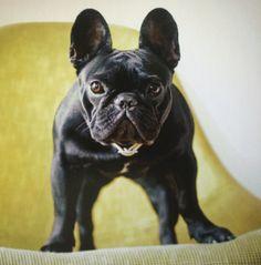 French Bulldog - photo credit goes to my 'dog a day calendar'.❤️