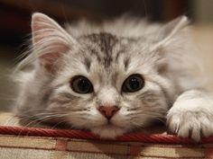 schöne katzenbilder | Tier Bild - Katzenbilder, schöne Katze Hintergrundbilder, flauschigen ...