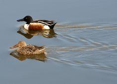 Northern Shoveler, drake and female, one of the native Kansas ducks.