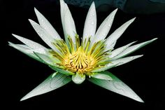 Lovely white and green Water Lily Flower. Hope you share this beautiful…