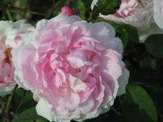 Rose : Duchesse d'Angouleme 1835