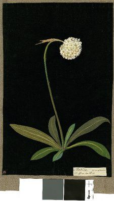 Mary Delany Prints, free printables for personal use Statice, from an album (Vol.IX, 36); Thrift or Sea Pink. 1778 Collage of coloured papers, with bodycolour and watercolour, on black ink background