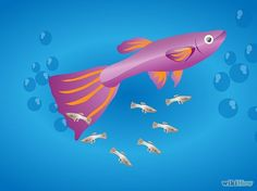 How to Breed Guppies: 12 Steps (with Pictures) - wikiHow