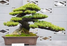 Japanese black pine♦️More Pins Like This At FOSTERGINGER @ Pinterest ♦️