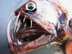http://diertjevandedag.classy.be/vissen/beenvisachtigen/straalvinnigen/nieuwvinnigen/beenvissen/diepzeevissen/draakvisachtigen/onderfamilie_addervissen.htm