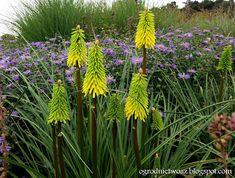 Ogrodnictwo od A do Z : Trytoma 'Bees Lemon'- Kniphofia 'Bees Lemon' (Rośl...
