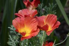 Eschscholzia californica 'Strawberry Fields' 01