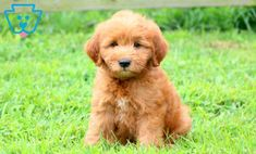 Charlie | Goldendoodle - Miniature Puppy For Sale | Keystone Puppies Goldendoodle Miniature, Miniature Puppies, Goldendoodle Puppy For Sale, Newborn Puppies, New Puppy, Design Development, Puppies For Sale, Miniatures, Dogs