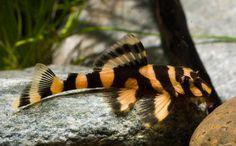 Dekeyseria Brachyura | L168 Dekeyseria brachyura (img. www.americanfish.de)
