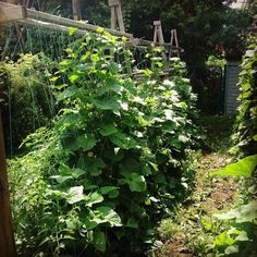 The A frames I use as vertical gutter systems also double as supports for large vining plants . In this photo cucumbers are trained up a wire vertically . Cukes that grow hanging in mid air grow straight do not get eaten by bugs and do not develop that ug