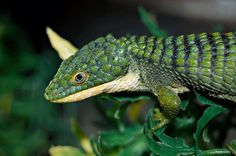Abronia Graminea (Mexican alligator lizard) Cut Animals, Animals And Pets, Funny Animals, Geckos, Japanese Flying Squirrel, Reptile Room, Reptiles And Amphibians, Nature Animals, Beautiful Creatures