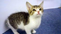 Kalissa 6218 Needs a good home! CatsExclusive.org Fixed, vaccinated, negative for FIV/FeLV/HW, de-wormed, de-fleaed.