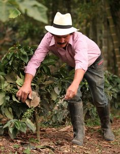 A colombian farmer on the coffee fields. There is a lot of work behind just one delicious cup of coffee. Many People tend to Forget about the long process of planting, harvesting, drying and roasting the coffe for it to develop into the hot Cup we all love. It is therefore important to support the small local farmers in colombian who put all their effort into this process. #coffee #colombia #local #plantation #travelandmakeadifference