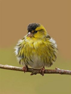 Just found a little Siskin in the corner of my windowsill. He must have died overnight.