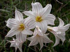 Olyscium biflorum [Family: Iridaceae]