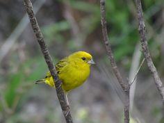 Foto canário-rasteiro (Sicalis citrina) por Daniel Teixeira | Wiki Aves - A Enciclopédia das Aves do Brasil