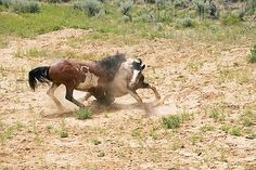 Mustang Stallions Sparring In Field