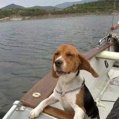 Ears flappin in the wind! Riding on our boat was a favorite activity of Febe's #beagle
