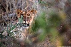 Le lion ne rugit (presque) plus en Afrique de l'Ouest - On savait leur situation critique. Mais cette fois, des chiffres précis viennent qualifier... - Le Monde - Blog écolo