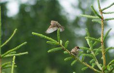 Tree sparrows by Jon Lindström / 500px