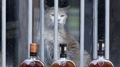 """In ur booz killin ur mice. """"Behind Every Good Whisky Is A Trusty Distillery"""" Cat http://n.pr/WDHrUk by @arishapiro Elijah, the Woodford Reserve Distillery mascot cat in Versailles, Ky., in 2013. He kept the workplace mouse-free for more than 20 years before dying this summer, the distillery said."""