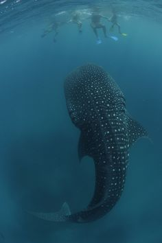 An ambling whale shark feeds on plankton just below a group of onlooking tourists. | via Huff Post Green