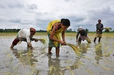 'Green revolution' crops bred to slash fertilizer use Regional Rural Bank, Crop Insurance, Future Earth, Agricultural Sector, Monsoon Rain, Green Revolution, Indian Government, Largest Countries, Bank Of India