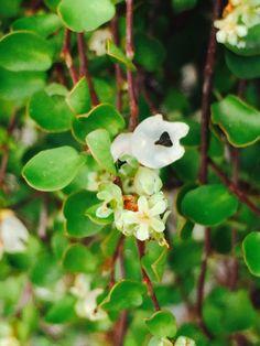 Blommande plättar i luften.  #Muehlenbeckia #plättariluften
