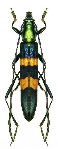 Anubis manillarum