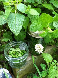 Making Herbal Medicine From Your Own Back Yard