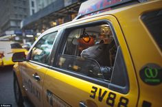 Cocoa, a pet goat takes a cab in New York. This picture by Allison Joyce was shortlisted in the Reuter's Best Photos of the Year showcase. via dailymail.co.uk
