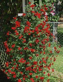 Rose Red Cascade - Groundcover