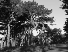 Bent Trees Path Black And White
