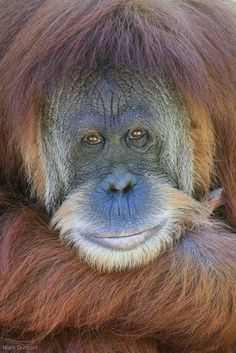 "Orangutans, whose name means ""people of the forest,"" live in tropical and swamp forests on the Southeast Asian islands of Borneo and Sumatra."